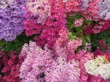 Schizanthus, Butterfly Flower, Poor's Man Orchid 100 Seeds- Unusual Flowers