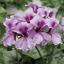 15 Seeds Film Coated Tornado Lilac Geranium Seeds Trailing Geranium