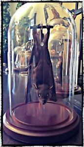 Ready to fly Bat In a Dome - Taxidermy, Oddities, Macabre, Occult, Witchcraft