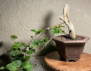 Cascade Bougainvillea Bonsai Tree with beautiful deadwood shari in imported pot