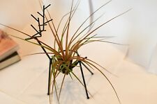 plant promotion gift,metal deer with tillandsia Tricolor as set,usa free ship