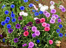 CORNFLOWER - DOUBLE POLKA DOT MIXED - 660 SEEDS - Centaurea cyanus nana - DWARF