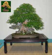 25 Semillas Acer Buergeranum (Arce Tridente Japonés) Código 855
