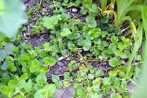 10x Pfennigkraut  Blühende Teichpflanzen für den Teichrand