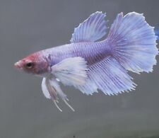 New listing live betta Tropical betta Fish~Female Dumbo Female betta P30