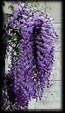 Purple Chinese Wisteria Vine Seeds - Wisteria sinensis �Ƹ̵̡Ӝ̵̨̄Ʒ�