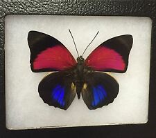 MOUNTED BUTTERFLY! AGRIAS CLAUDINA LUGENS  BUTTERFLY ! WOW!