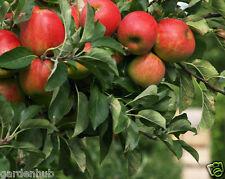 LIVE - APPLE Fruit Plant - Malus domestica -1 Healthy Plant - In 1 Pot