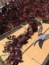 "Red Aeonium-  ""Jack Catlin""  15 Cuttings 5"""" tall  Succulents/Cactus/Plants"