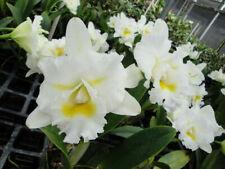 "Bc Island Charm 'Oc' Cattleya Orchid Plant 4 1/2"" Pot"