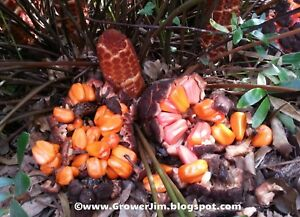 Zamia pumila / floridana / integrifolia (Coontie) cycad seeds