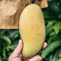 GRAFTED  Mango Mature Tree Ready To Fruit Ñam Doc Mai 4'-5'FEET GIANT SIZE