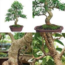 Ficus Bonsai Tree Plant Golden Gate Tropical Indoor Houseplant Best Gift 20 Year