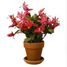 Christmas Cactus - THOR ALICE - Schlumbergera - Easy to Grow - 5 Double Segments