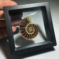 Natural Ammonite Fossil Shell Conch Specimen Crystal Healing Display Box