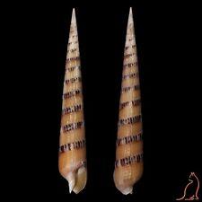 Terebra Hastulopsis pertusa pertusa, Philippines, Terebridae sea shell