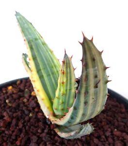 Aloe Ferox var. marlothii variegated no agave Titanota haworthia Maughanii B24