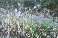 3 PENDULOUS SEDGE PLANTS (Carex pendula)