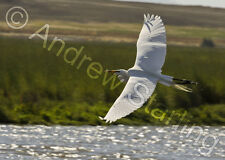 Egret Flight Photograph by Andrew Starling Signed Bird Animal Print 5x7