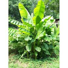2 Musa Basjoo Banana Tree Hardy 4 In Pots Starter Plant in Each Pot Outdoor NEW
