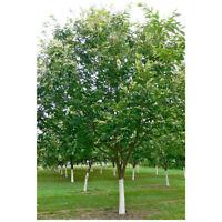 American Chestnut Tree - Hybrid -Heavy Established - 2 Gallon Potted - 1 Plant