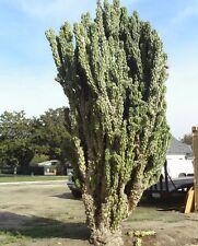 Cereus peruvianus monstrosus 10 seeds * cactus *edible fruit* bizarre CombSH C61