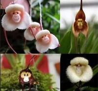 Beautiful Orchid Seeds Plant Flower Rare Monkey Face Charm Garden Decor 10PCS H7