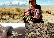 70+ Samen Lepidium meyenii - Schwarzer Maca , Peruanischer Ginseng Black Maca