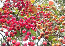 hardy flowering shrub or tree Christmas Berry PHOTINIA BEAUVERDIANA showy fruits