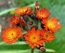 3x Orange Hawkweed Fox & Cubs Hardy Perennial Wildflower Bee plants - 9cm pots