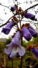 Blauglockenbaum (Paulownia tomentosa) Riesenblätter bis zu 80 cm groß, 50 Samen