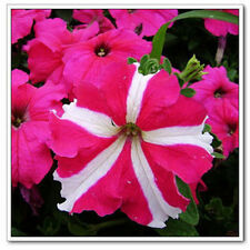 100 Seeds Of Each Pack Beautiful Red Star Petunia Hybrida Flower Seeds A045 Hot