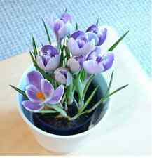 50pcs / bag ,Crocus sativus seeds , potted seed, flower seed, variety complete,