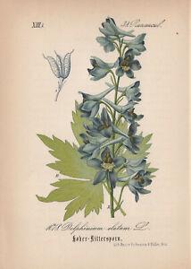 Hohe Rittersporn (Delphinium elatum) Chromo-Lithographie v. 1882 candle larkspur
