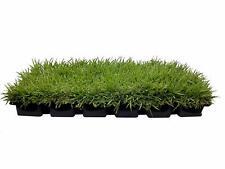 "Zoysia Sod Plugs - Large 3"" x 3"" - Drought, Salt & Shade Tolerant Turf Grass"