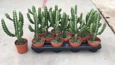 Euphorbia lactea cactus house plant in a 10.5cm pot x 1Rarely offered
