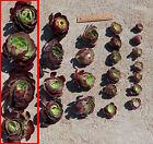 Succulent Aeonium Velour 100-140 mm cuttings Drought tolerant plant -20 cuttings
