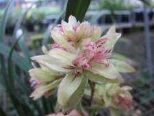 3 growths chinese orchid/ cymbidium ensifolium-富山奇蝶