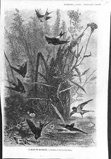 Départ des Hirondelles oiseaux dessin de Karl Bodmer peintre  GRAVURE 1873