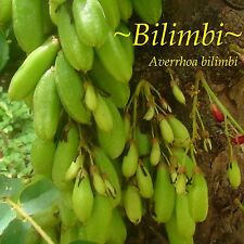 ~BILIMBI~ Averrhoa Belimbing CUCUMBER TREE 1yr old Potted Fruit Tree Plant LEGIT