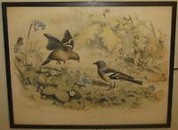 Antique 1857 EDOUARD TRAVIES 'Le Pinson' FINCH LITHOGRAPH - ORNITHOLOGY Print