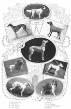 Dogs. Setter Greyhound Irish Bull Terrier Gt Dane Poodle Wolfhound Collie 1907