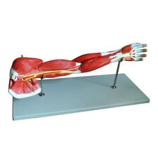 Medical Anatomical Muscular Arm Model, 7 Parts, Life Size, High Quality, New