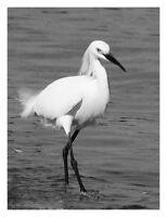 "Snowy Egret 12"" x 16"" Black and White Fine Art Print, Wading Bird, Shorebird"