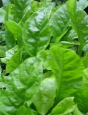 Spinach Seeds- Organic- Gigante D'Inverno- 200+   2018 Seeds $1.69 Max. Shipping