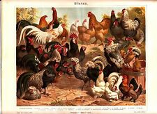1894 CHICKENS POULTRY HEN ROOSTER BIRDS BREEDS Antique Chromolithograph Print