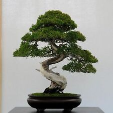 40 x Common Juniper tree seeds. Tree seeds that can be used for bonsai.