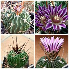 10 Samen der Echinofossulocactus  lamellosus, Sukkulenten, seeds succulents G