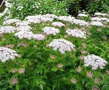 Melanoselinum Decipiens - 30 Seeds - Tree Angelica / Black Parsley