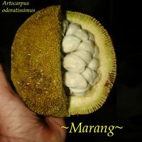 Dwarf Hybrid ~MARANG~ Borneo Fruit Tree Artocarpus Odoratissimus Sml potd Plant